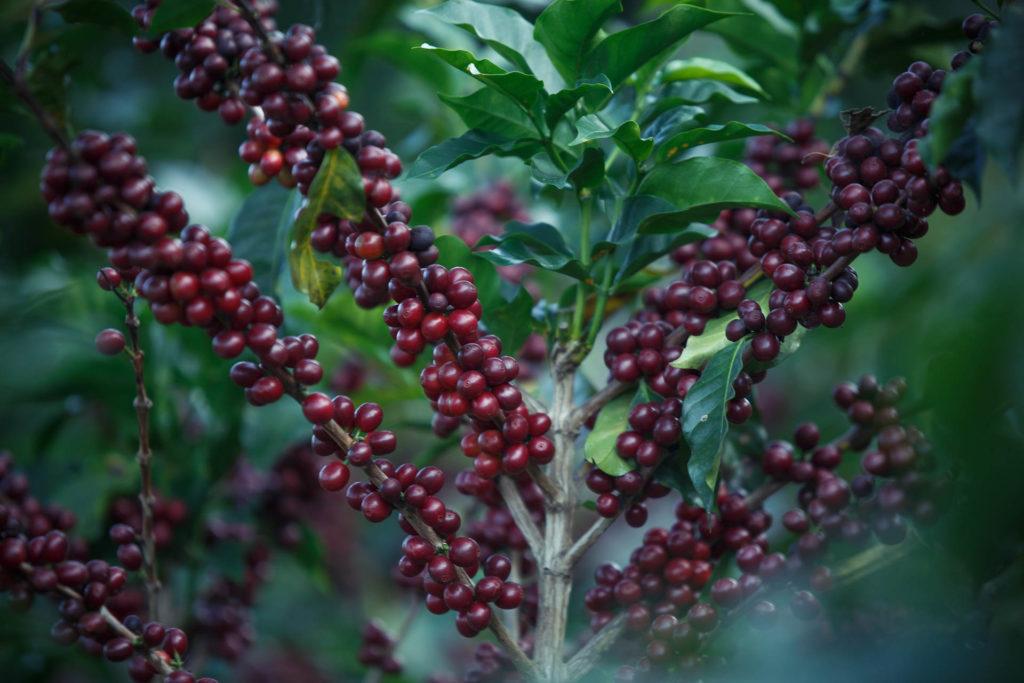 Kaffets ursprung
