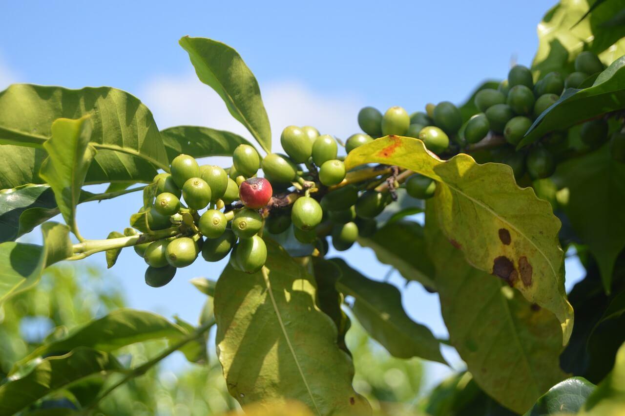Därför bör du välja miljömärkt och etiskt kaffe
