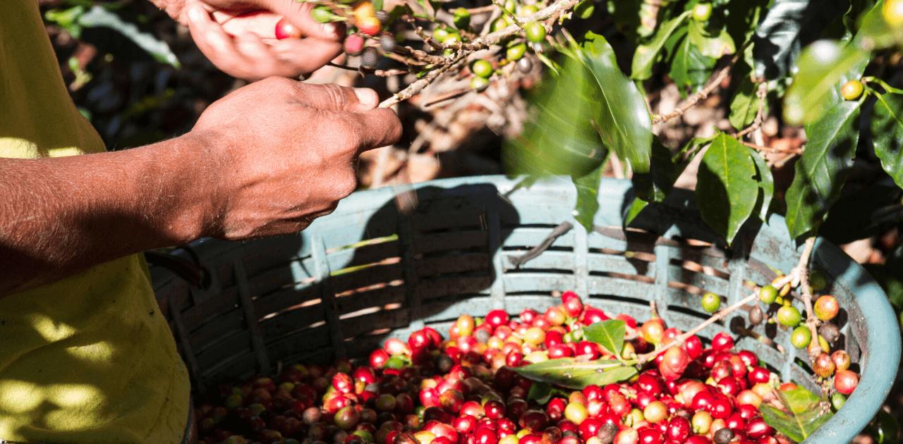 Hållbart kaffe – en förutsättning för framtiden